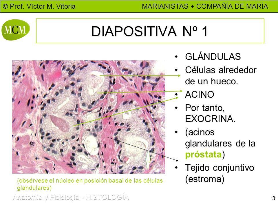 © Prof. Víctor M. Vitoria MARIANISTAS + COMPAÑÍA DE MARÍA 3 DIAPOSITIVA Nº 1 GLÁNDULAS Células alrededor de un hueco. ACINO Por tanto, EXOCRINA. (acin