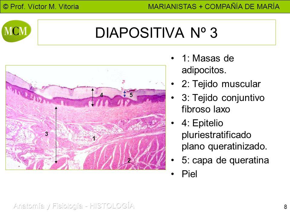 © Prof. Víctor M. Vitoria MARIANISTAS + COMPAÑÍA DE MARÍA 8 DIAPOSITIVA Nº 3 1: Masas de adipocitos. 2: Tejido muscular 3: Tejido conjuntivo fibroso l