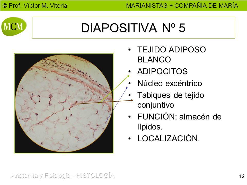 © Prof. Víctor M. Vitoria MARIANISTAS + COMPAÑÍA DE MARÍA 12 DIAPOSITIVA Nº 5 TEJIDO ADIPOSO BLANCO ADIPOCITOS Núcleo excéntrico Tabiques de tejido co