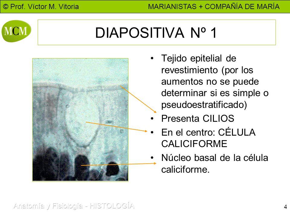 © Prof. Víctor M. Vitoria MARIANISTAS + COMPAÑÍA DE MARÍA 4 DIAPOSITIVA Nº 1 Tejido epitelial de revestimiento (por los aumentos no se puede determina