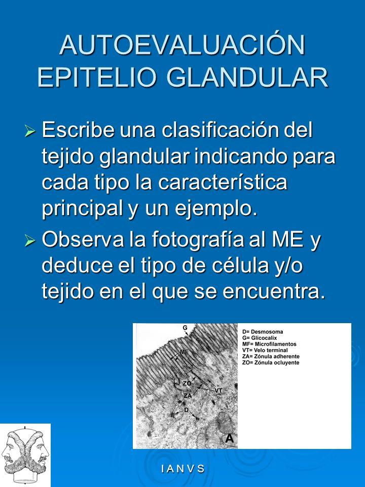 I A N V S AUTOEVALUACIÓN EPITELIO GLANDULAR Escribe una clasificación del tejido glandular indicando para cada tipo la característica principal y un e
