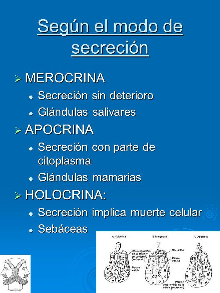 I A N V S Según el modo de secreción MEROCRINA MEROCRINA Secreción sin deterioro Secreción sin deterioro Glándulas salivares Glándulas salivares APOCR