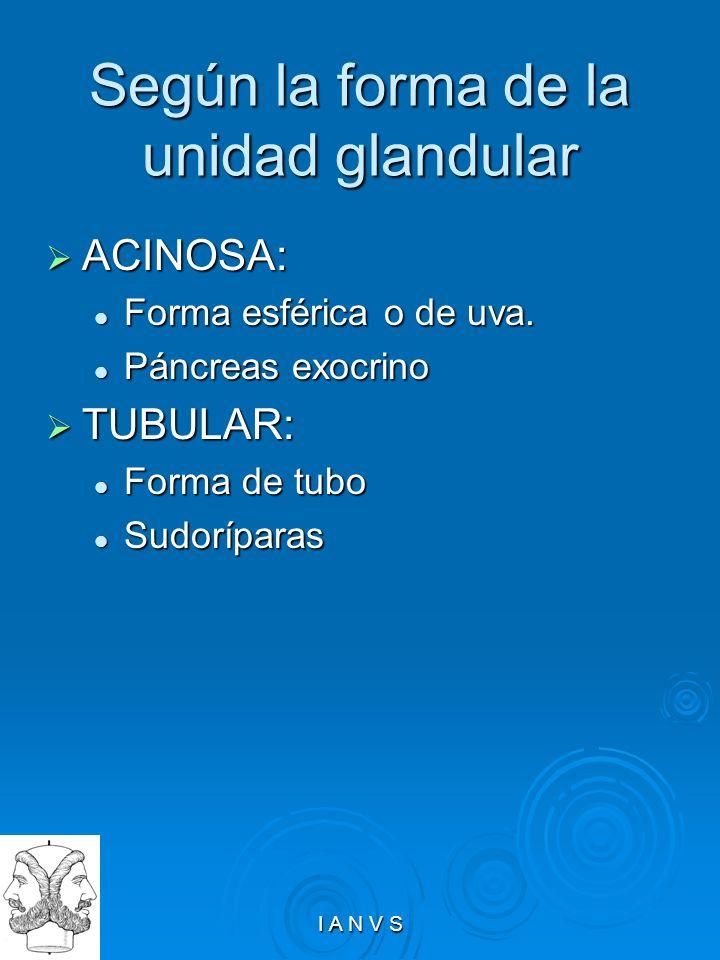I A N V S Según la forma de la unidad glandular ACINOSA: ACINOSA: Forma esférica o de uva. Forma esférica o de uva. Páncreas exocrino Páncreas exocrin