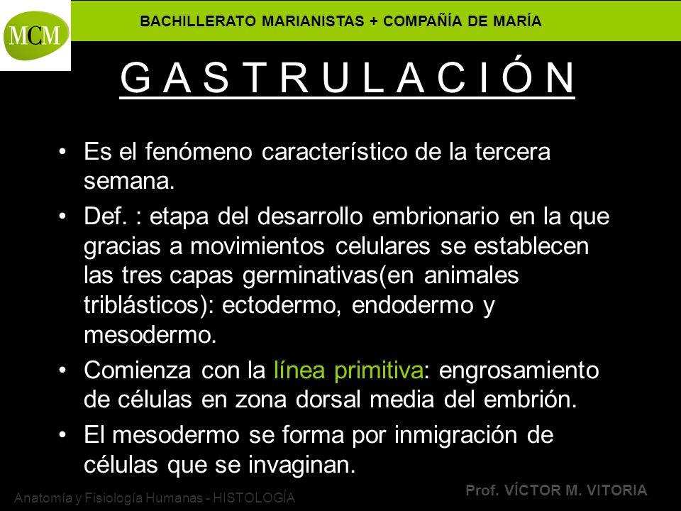 BACHILLERATO MARIANISTAS + COMPAÑÍA DE MARÍA Prof. VÍCTOR M. VITORIA Anatomía y Fisiología Humanas - HISTOLOGÍA G A S T R U L A C I Ó N Es el fenómeno