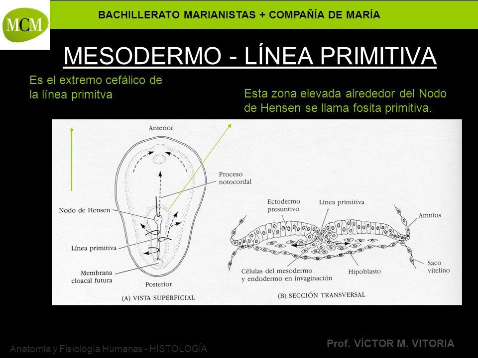 BACHILLERATO MARIANISTAS + COMPAÑÍA DE MARÍA Prof. VÍCTOR M. VITORIA Anatomía y Fisiología Humanas - HISTOLOGÍA MESODERMO - LÍNEA PRIMITIVA Es el extr