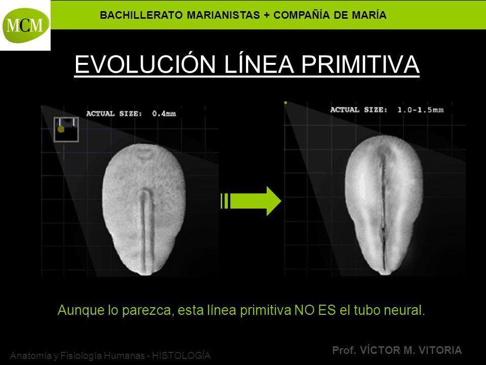 BACHILLERATO MARIANISTAS + COMPAÑÍA DE MARÍA Prof. VÍCTOR M. VITORIA Anatomía y Fisiología Humanas - HISTOLOGÍA EVOLUCIÓN LÍNEA PRIMITIVA Aunque lo pa