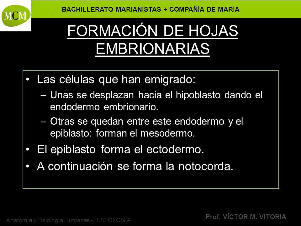 BACHILLERATO MARIANISTAS + COMPAÑÍA DE MARÍA Prof. VÍCTOR M. VITORIA Anatomía y Fisiología Humanas - HISTOLOGÍA FORMACIÓN DE HOJAS EMBRIONARIAS Las cé