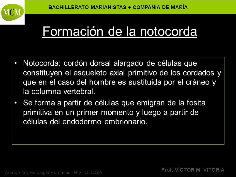 BACHILLERATO MARIANISTAS + COMPAÑÍA DE MARÍA Prof. VÍCTOR M. VITORIA Anatomía y Fisiología Humanas - HISTOLOGÍA Formación de la notocorda Notocorda: c