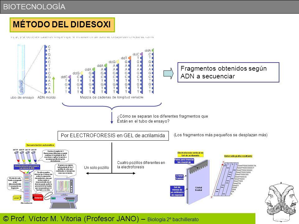 BIOTECNOLOGÍA © Prof. Víctor M. Vitoria (Profesor JANO) – Biología 2º bachillerato MÉTODO DEL DIDESOXI Fragmentos obtenidos según ADN a secuenciar ¿Có