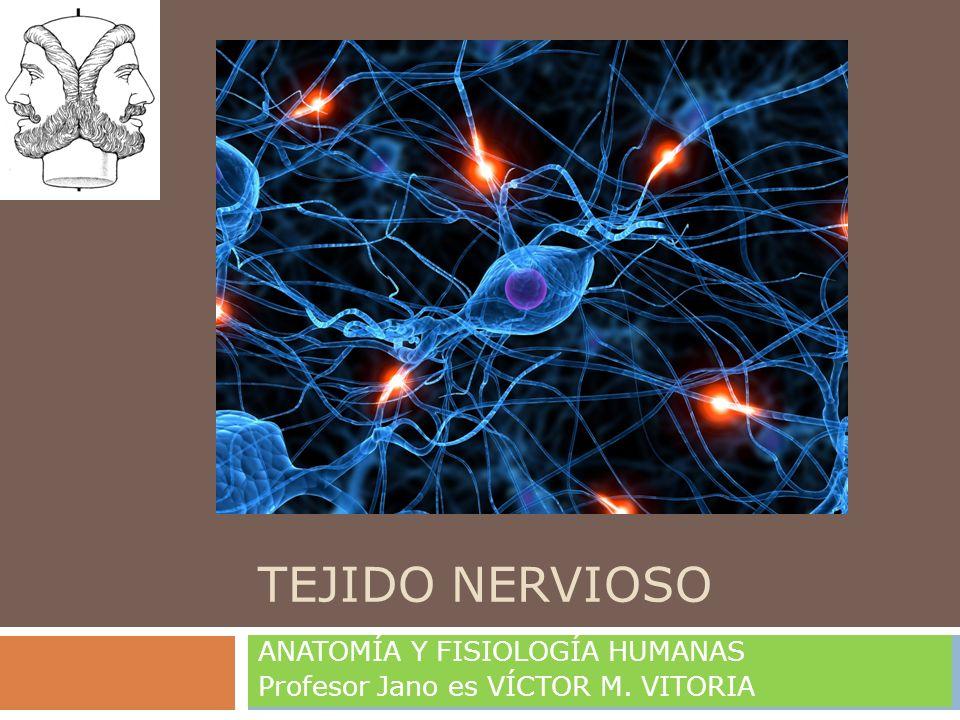 TEJIDO NERVIOSO ANATOMÍA Y FISIOLOGÍA HUMANAS Profesor Jano es VÍCTOR M. VITORIA