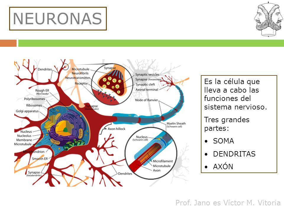 Prof. Jano es Víctor M. Vitoria NEURONAS Es la célula que lleva a cabo las funciones del sistema nervioso. Tres grandes partes: SOMA DENDRITAS AXÓN