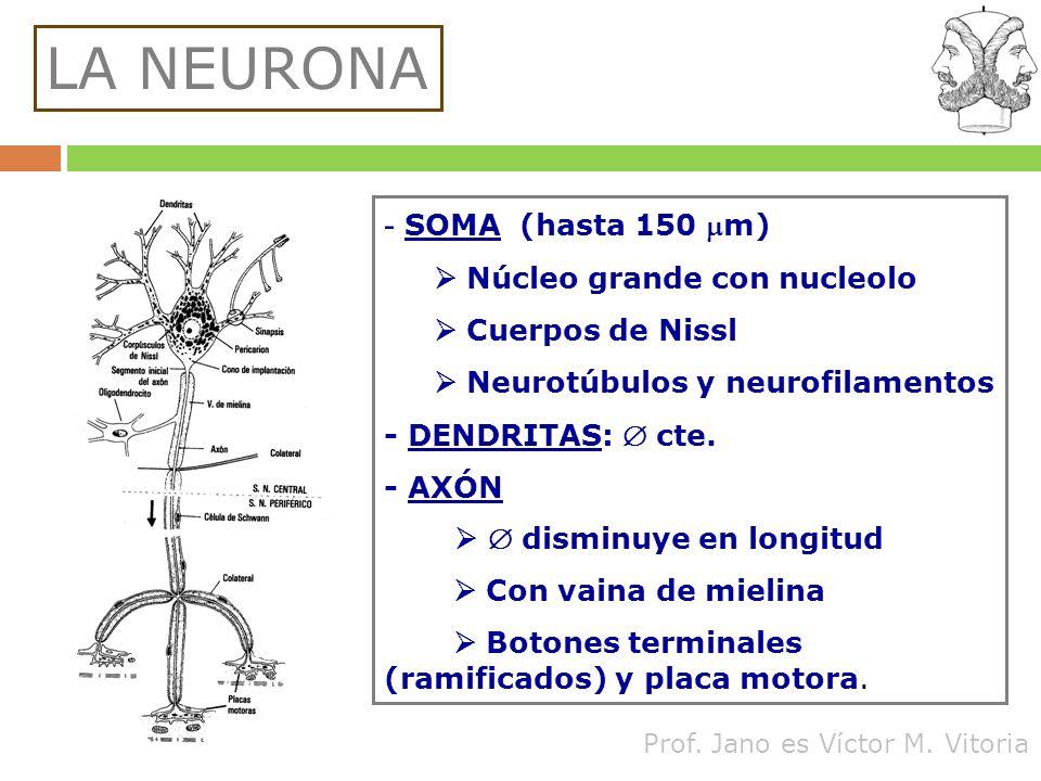 Prof. Jano es Víctor M. Vitoria LA NEURONA - SOMA (hasta 150 m) Núcleo grande con nucleolo Cuerpos de Nissl Neurotúbulos y neurofilamentos - DENDRITAS