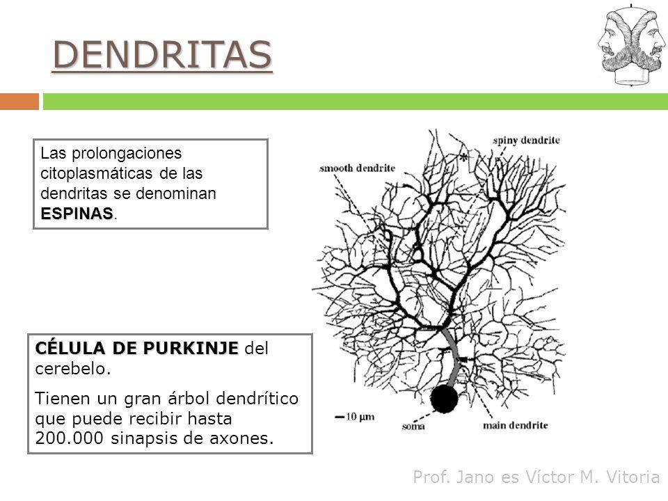 Prof. Jano es Víctor M. Vitoria DENDRITAS ESPINAS Las prolongaciones citoplasmáticas de las dendritas se denominan ESPINAS. CÉLULA DE PURKINJE CÉLULA