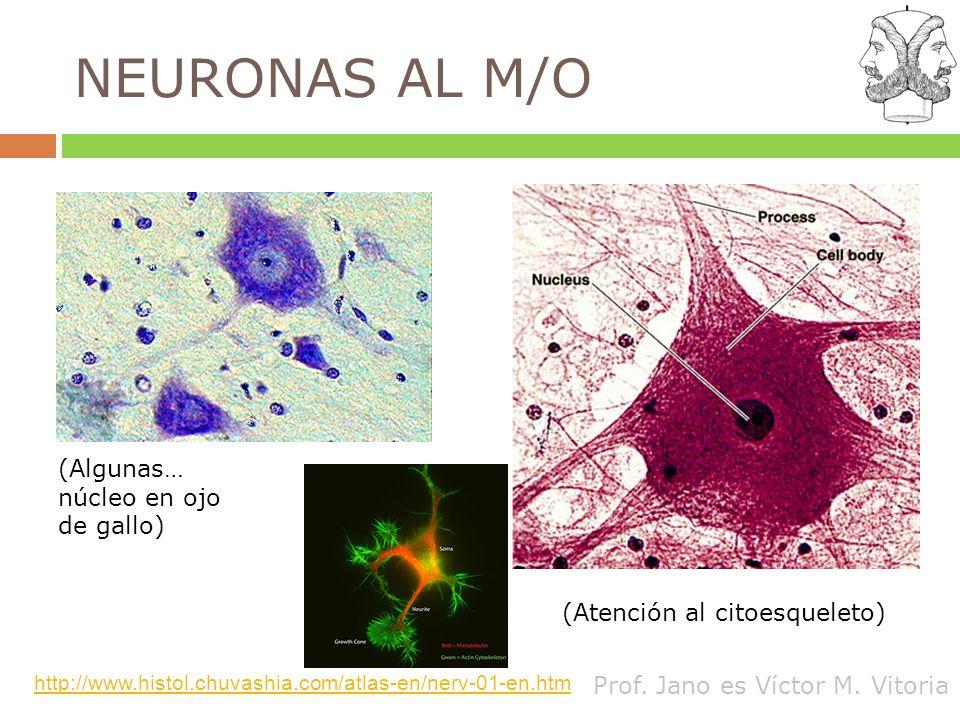 Prof. Jano es Víctor M. Vitoria NEURONAS AL M/O (Atención al citoesqueleto) (Algunas… núcleo en ojo de gallo) http://www.histol.chuvashia.com/atlas-en