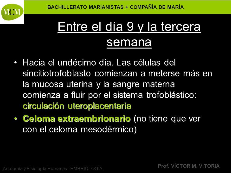 BACHILLERATO MARIANISTAS + COMPAÑÍA DE MARÍA Prof. VÍCTOR M. VITORIA Anatomía y Fisiología Humanas - EMBRIOLOGÍA Entre el día 9 y la tercera semana ci