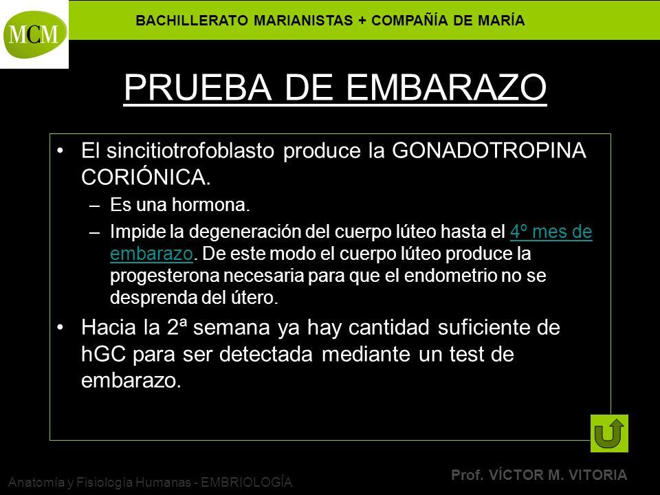 BACHILLERATO MARIANISTAS + COMPAÑÍA DE MARÍA Prof. VÍCTOR M. VITORIA Anatomía y Fisiología Humanas - EMBRIOLOGÍA PRUEBA DE EMBARAZO El sincitiotrofobl
