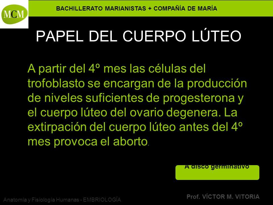 BACHILLERATO MARIANISTAS + COMPAÑÍA DE MARÍA Prof. VÍCTOR M. VITORIA Anatomía y Fisiología Humanas - EMBRIOLOGÍA PAPEL DEL CUERPO LÚTEO A partir del 4
