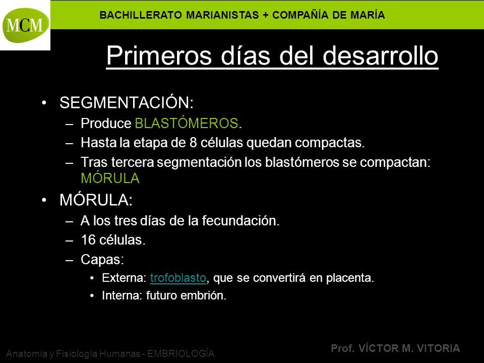 BACHILLERATO MARIANISTAS + COMPAÑÍA DE MARÍA Prof. VÍCTOR M. VITORIA Anatomía y Fisiología Humanas - EMBRIOLOGÍA Primeros días del desarrollo SEGMENTA