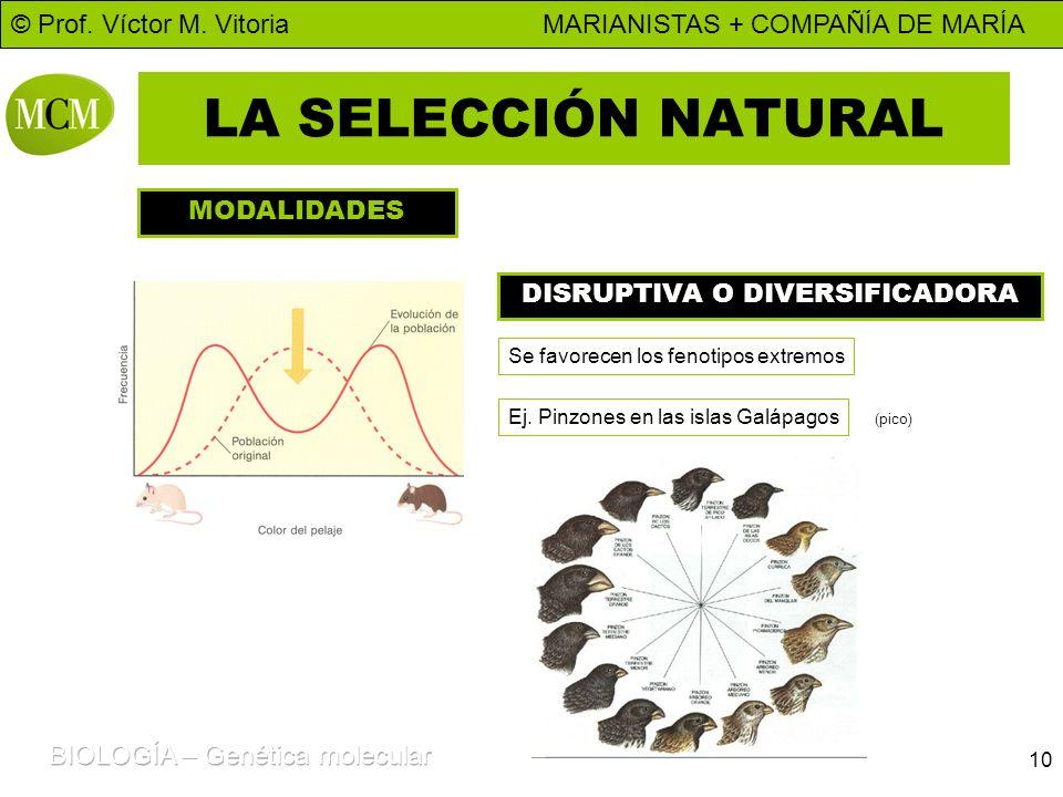 © Prof. Víctor M. Vitoria MARIANISTAS + COMPAÑÍA DE MARÍA 10 LA SELECCIÓN NATURAL MODALIDADES DISRUPTIVA O DIVERSIFICADORA Se favorecen los fenotipos