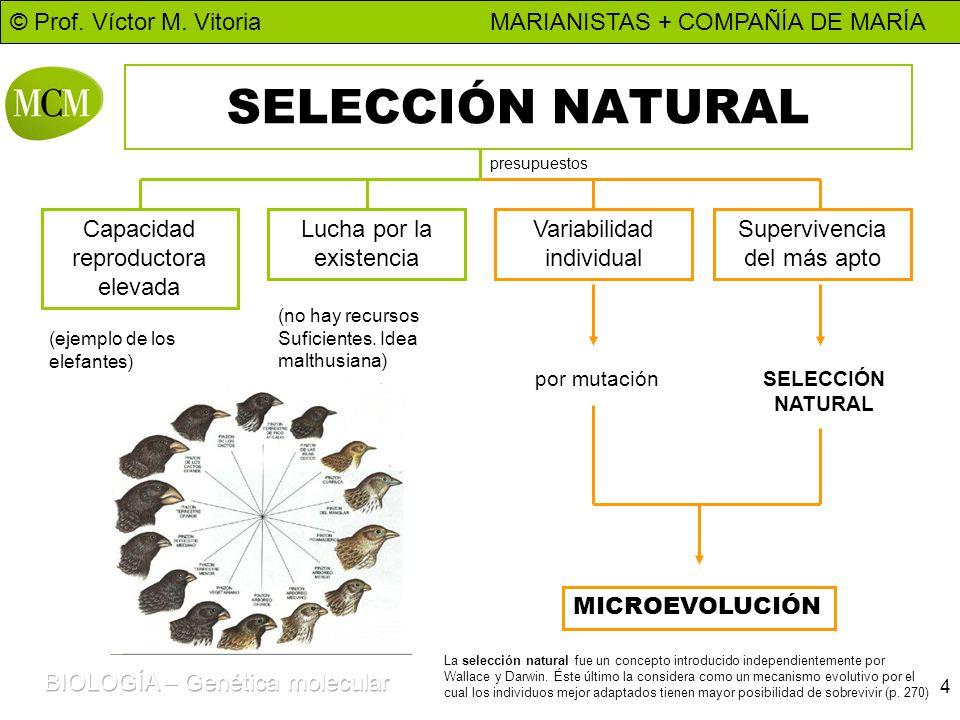 © Prof. Víctor M. Vitoria MARIANISTAS + COMPAÑÍA DE MARÍA 4 SELECCIÓN NATURAL Capacidad reproductora elevada Lucha por la existencia Variabilidad indi