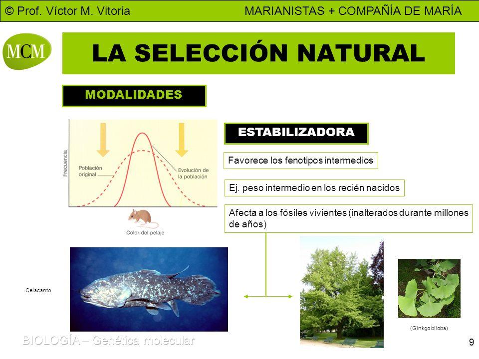 © Prof. Víctor M. Vitoria MARIANISTAS + COMPAÑÍA DE MARÍA 9 LA SELECCIÓN NATURAL MODALIDADES ESTABILIZADORA Favorece los fenotipos intermedios Ej. pes