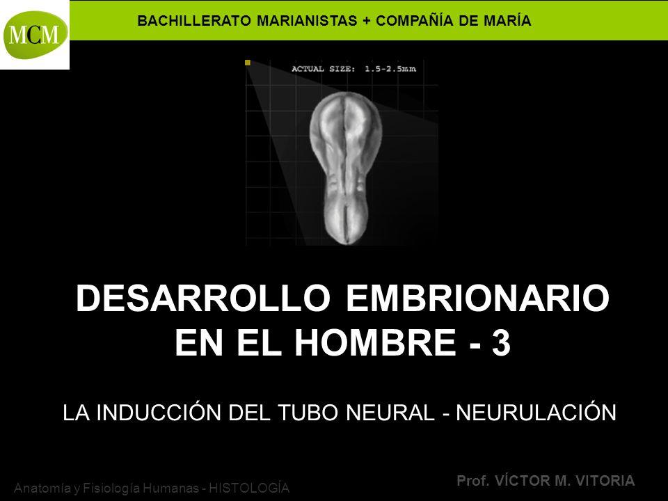 BACHILLERATO MARIANISTAS + COMPAÑÍA DE MARÍA Prof. VÍCTOR M. VITORIA Anatomía y Fisiología Humanas - HISTOLOGÍA DESARROLLO EMBRIONARIO EN EL HOMBRE -