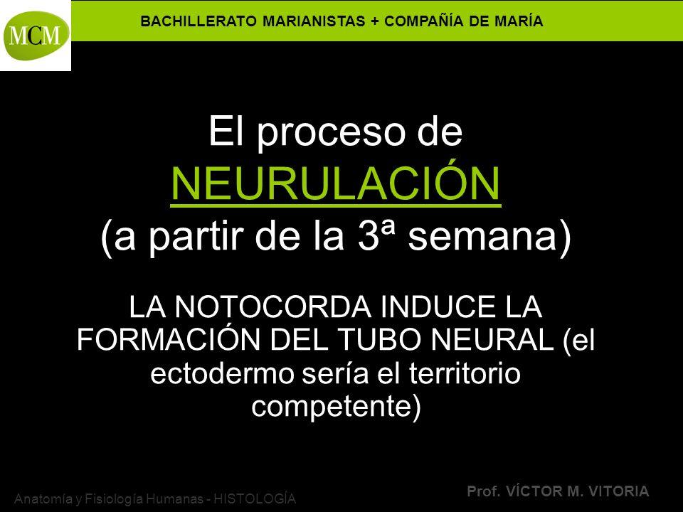 BACHILLERATO MARIANISTAS + COMPAÑÍA DE MARÍA Prof. VÍCTOR M. VITORIA Anatomía y Fisiología Humanas - HISTOLOGÍA El proceso de NEURULACIÓN (a partir de