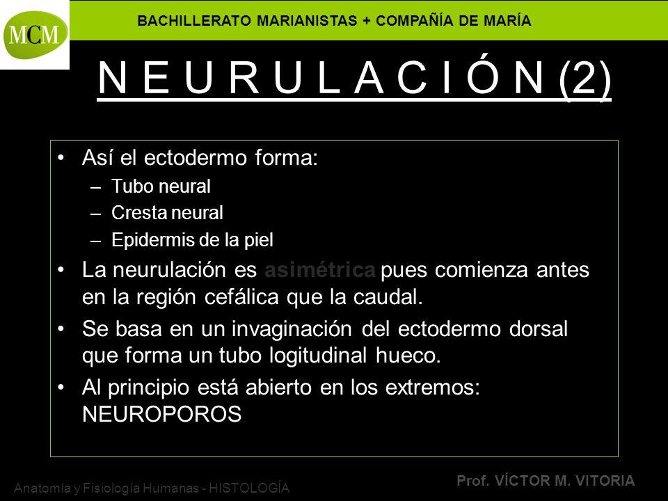 BACHILLERATO MARIANISTAS + COMPAÑÍA DE MARÍA Prof. VÍCTOR M. VITORIA Anatomía y Fisiología Humanas - HISTOLOGÍA N E U R U L A C I Ó N (2) Así el ectod