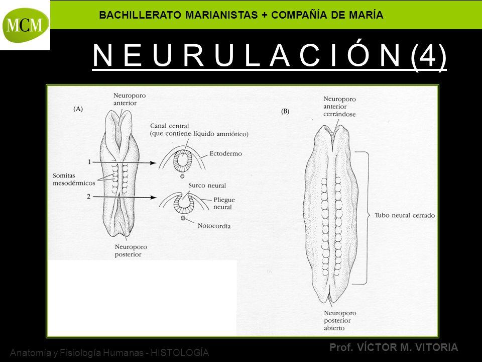BACHILLERATO MARIANISTAS + COMPAÑÍA DE MARÍA Prof. VÍCTOR M. VITORIA Anatomía y Fisiología Humanas - HISTOLOGÍA N E U R U L A C I Ó N (4)