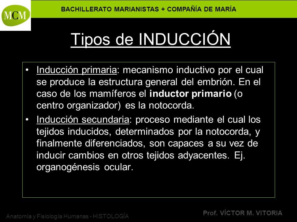 BACHILLERATO MARIANISTAS + COMPAÑÍA DE MARÍA Prof. VÍCTOR M. VITORIA Anatomía y Fisiología Humanas - HISTOLOGÍA Tipos de INDUCCIÓN Inducción primaria: