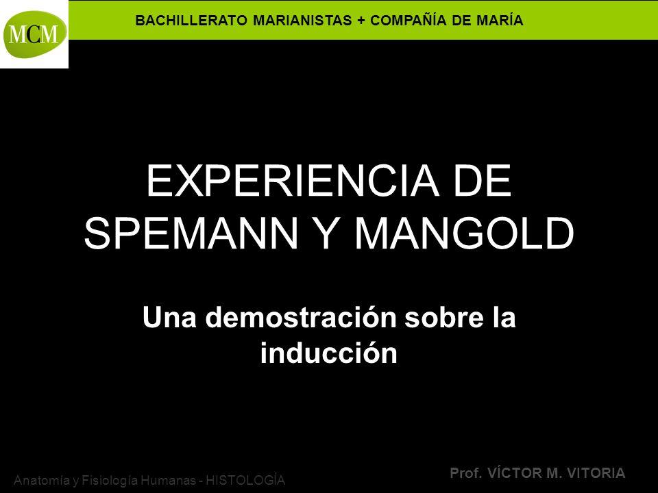 BACHILLERATO MARIANISTAS + COMPAÑÍA DE MARÍA Prof. VÍCTOR M. VITORIA Anatomía y Fisiología Humanas - HISTOLOGÍA EXPERIENCIA DE SPEMANN Y MANGOLD Una d
