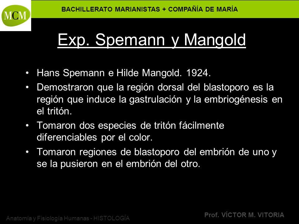 BACHILLERATO MARIANISTAS + COMPAÑÍA DE MARÍA Prof. VÍCTOR M. VITORIA Anatomía y Fisiología Humanas - HISTOLOGÍA Exp. Spemann y Mangold Hans Spemann e