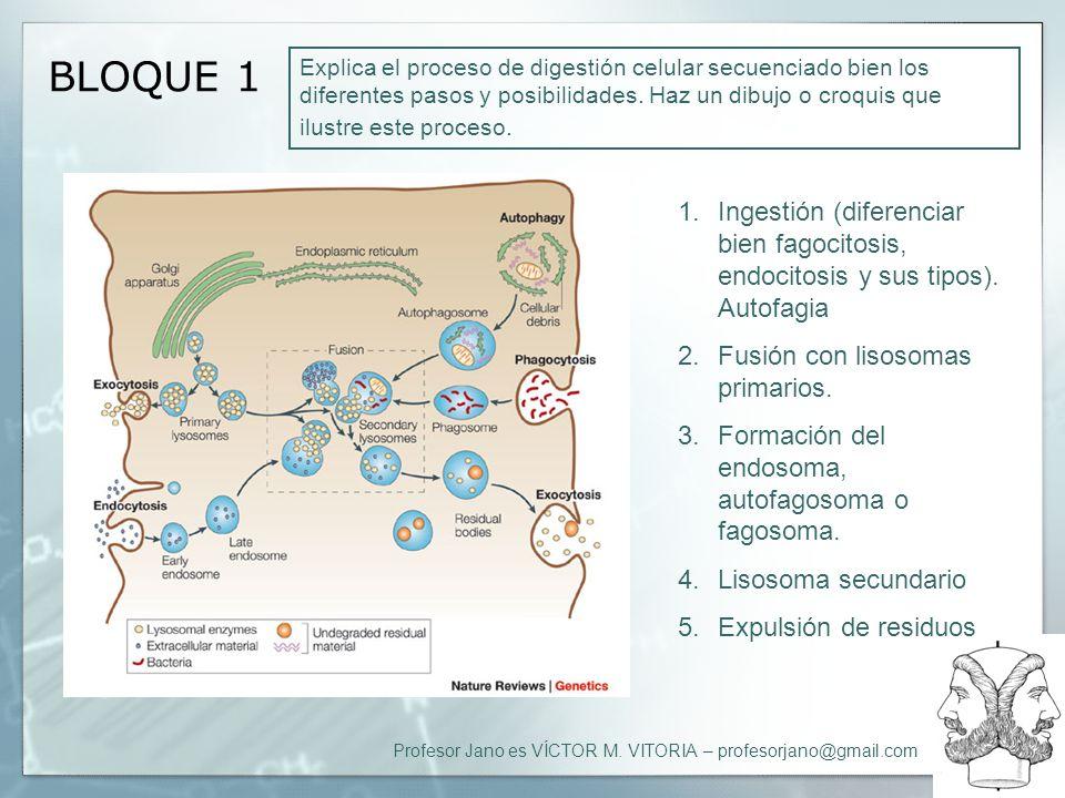 Profesor Jano es VÍCTOR M. VITORIA – profesorjano@gmail.com BLOQUE 1 Explica el proceso de digestión celular secuenciado bien los diferentes pasos y p