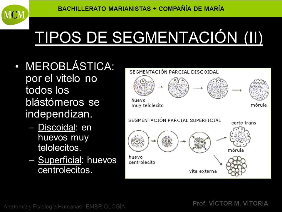 BACHILLERATO MARIANISTAS + COMPAÑÍA DE MARÍA Prof. VÍCTOR M. VITORIA Anatomía y Fisiología Humanas - EMBRIOLOGÍA TIPOS DE SEGMENTACIÓN (II) MEROBLÁSTI