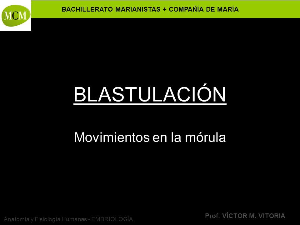 BACHILLERATO MARIANISTAS + COMPAÑÍA DE MARÍA Prof. VÍCTOR M. VITORIA Anatomía y Fisiología Humanas - EMBRIOLOGÍA BLASTULACIÓN Movimientos en la mórula