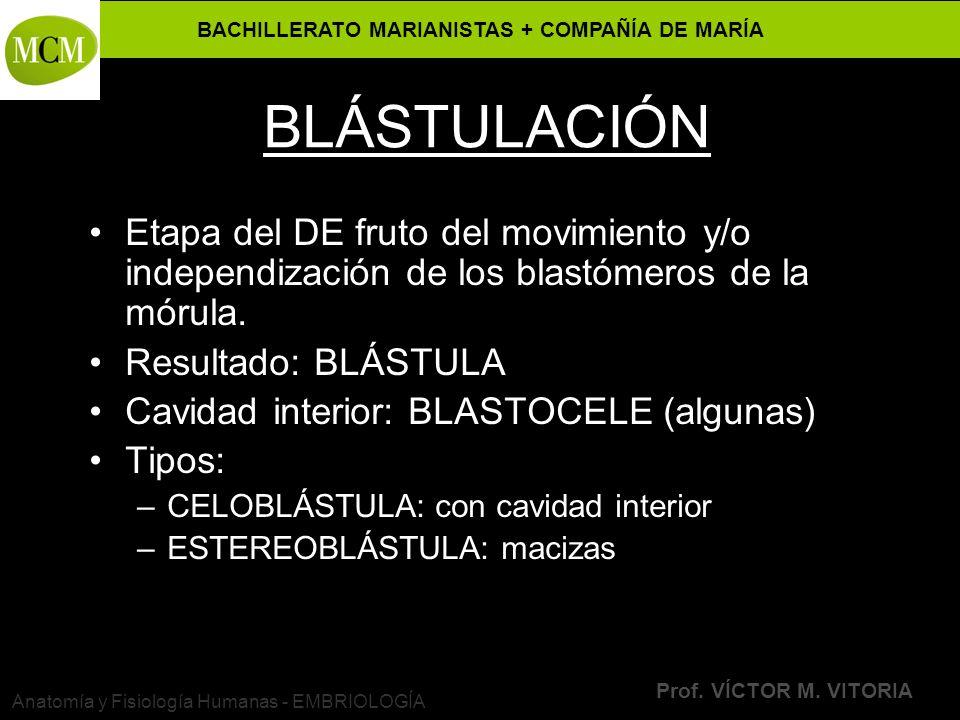 BACHILLERATO MARIANISTAS + COMPAÑÍA DE MARÍA Prof. VÍCTOR M. VITORIA Anatomía y Fisiología Humanas - EMBRIOLOGÍA BLÁSTULACIÓN Etapa del DE fruto del m