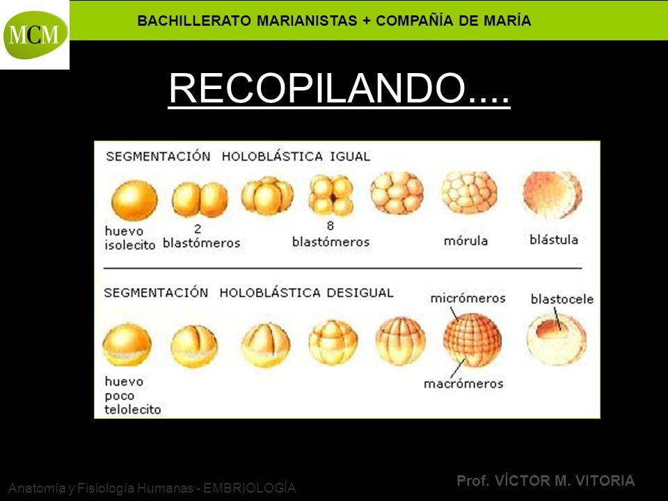 BACHILLERATO MARIANISTAS + COMPAÑÍA DE MARÍA Prof. VÍCTOR M. VITORIA Anatomía y Fisiología Humanas - EMBRIOLOGÍA RECOPILANDO....