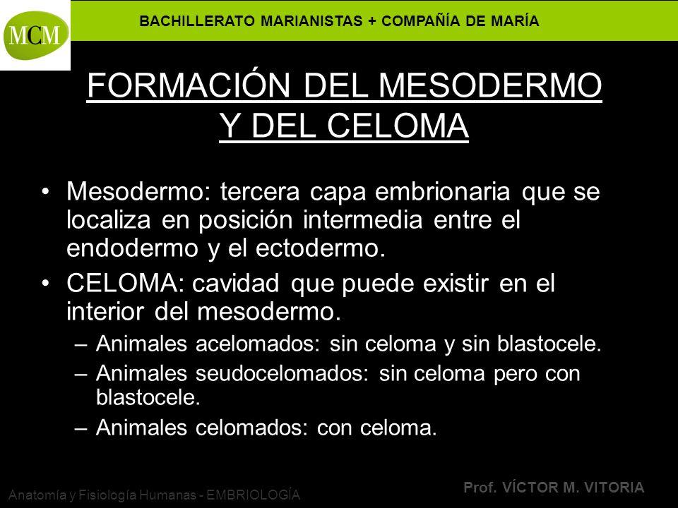 BACHILLERATO MARIANISTAS + COMPAÑÍA DE MARÍA Prof. VÍCTOR M. VITORIA Anatomía y Fisiología Humanas - EMBRIOLOGÍA FORMACIÓN DEL MESODERMO Y DEL CELOMA