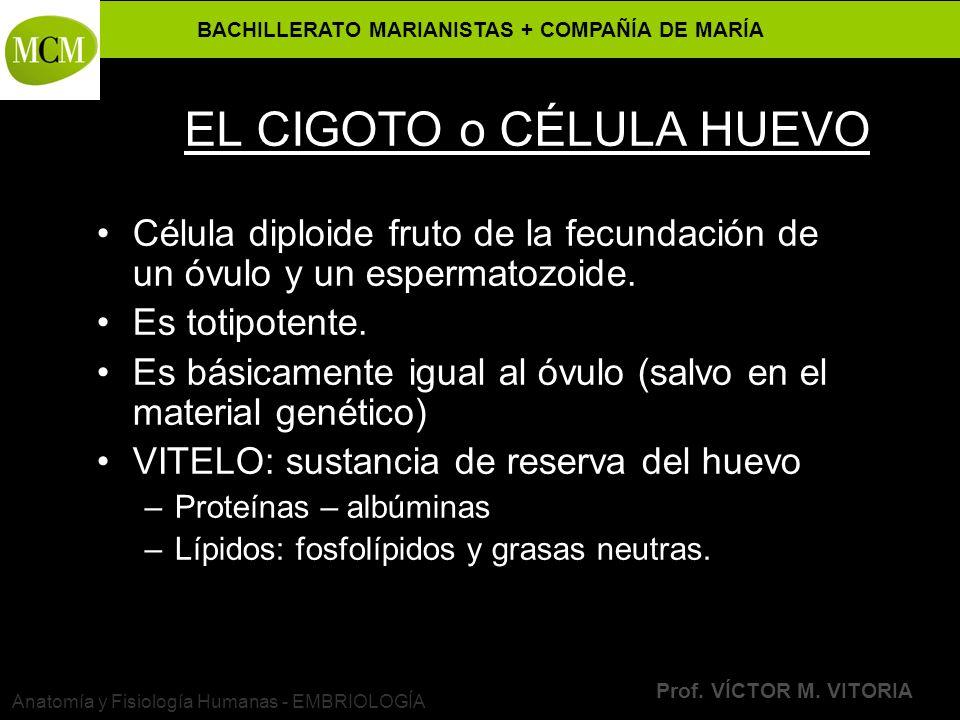 BACHILLERATO MARIANISTAS + COMPAÑÍA DE MARÍA Prof. VÍCTOR M. VITORIA Anatomía y Fisiología Humanas - EMBRIOLOGÍA EL CIGOTO o CÉLULA HUEVO Célula diplo
