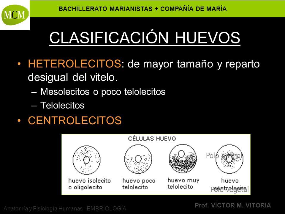 BACHILLERATO MARIANISTAS + COMPAÑÍA DE MARÍA Prof. VÍCTOR M. VITORIA Anatomía y Fisiología Humanas - EMBRIOLOGÍA CLASIFICACIÓN HUEVOS HETEROLECITOS: d