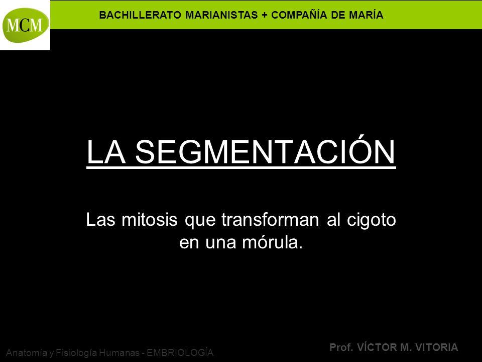 BACHILLERATO MARIANISTAS + COMPAÑÍA DE MARÍA Prof. VÍCTOR M. VITORIA Anatomía y Fisiología Humanas - EMBRIOLOGÍA LA SEGMENTACIÓN Las mitosis que trans