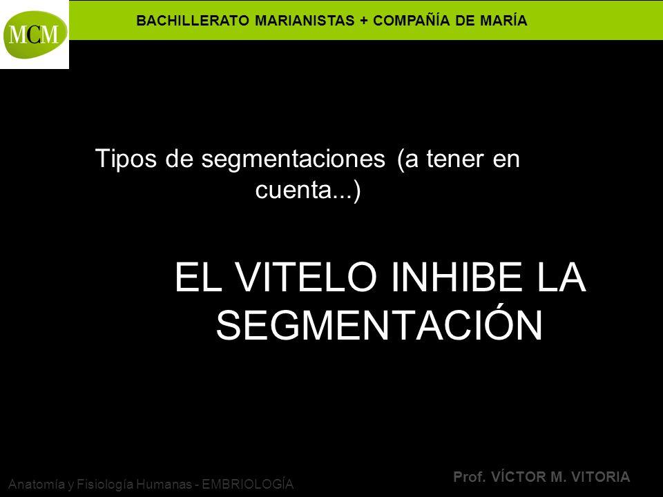 BACHILLERATO MARIANISTAS + COMPAÑÍA DE MARÍA Prof. VÍCTOR M. VITORIA Anatomía y Fisiología Humanas - EMBRIOLOGÍA EL VITELO INHIBE LA SEGMENTACIÓN Tipo