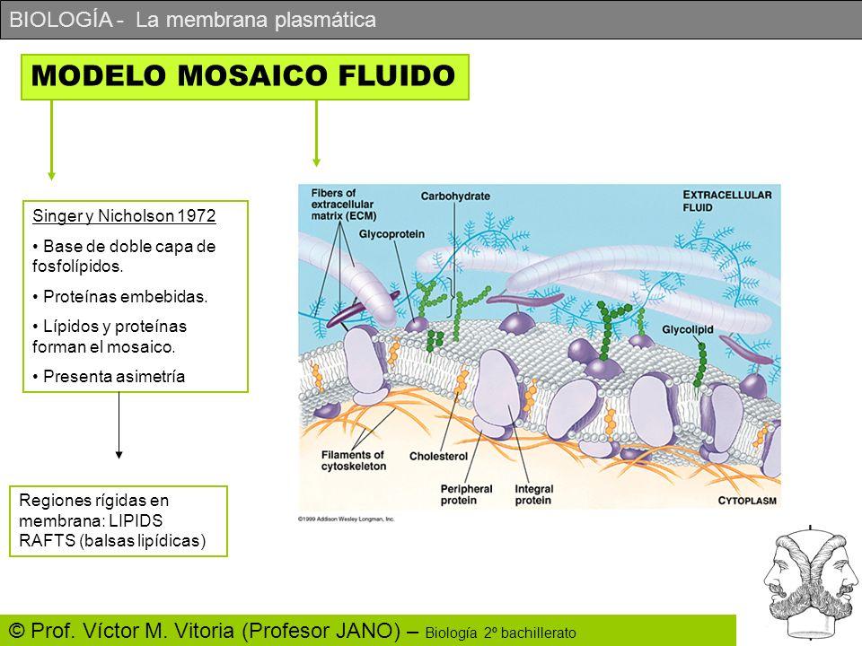 BIOLOGÍA - La membrana plasmática © Prof. Víctor M. Vitoria (Profesor JANO) – Biología 2º bachillerato MODELO MOSAICO FLUIDO Singer y Nicholson 1972 B