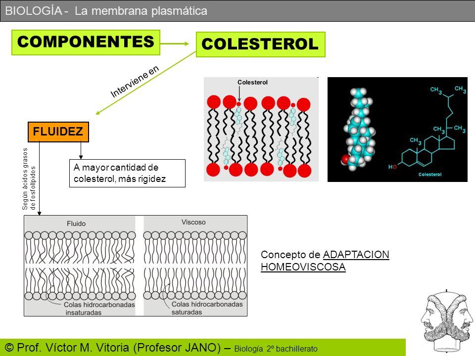 BIOLOGÍA - La membrana plasmática © Prof. Víctor M. Vitoria (Profesor JANO) – Biología 2º bachillerato COMPONENTES COLESTEROL Interviene en FLUIDEZ A