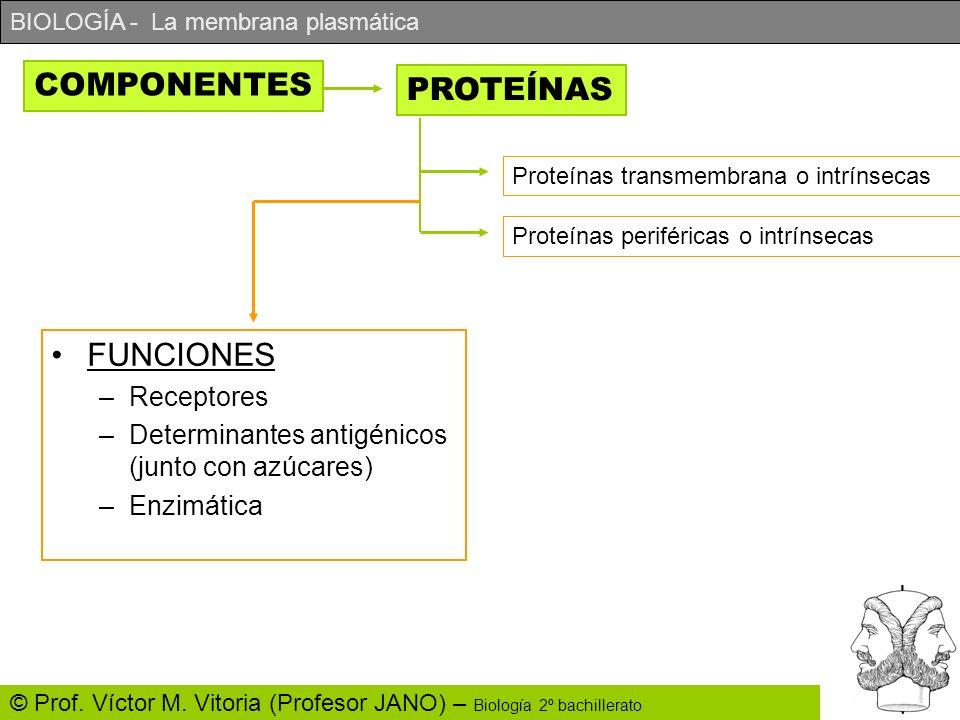BIOLOGÍA - La membrana plasmática © Prof. Víctor M. Vitoria (Profesor JANO) – Biología 2º bachillerato COMPONENTES PROTEÍNAS Proteínas transmembrana o