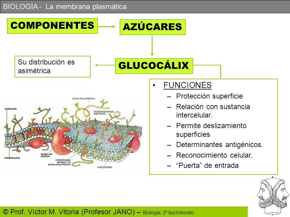 BIOLOGÍA - La membrana plasmática © Prof. Víctor M. Vitoria (Profesor JANO) – Biología 2º bachillerato COMPONENTES AZÚCARES GLUCOCÁLIX Su distribución