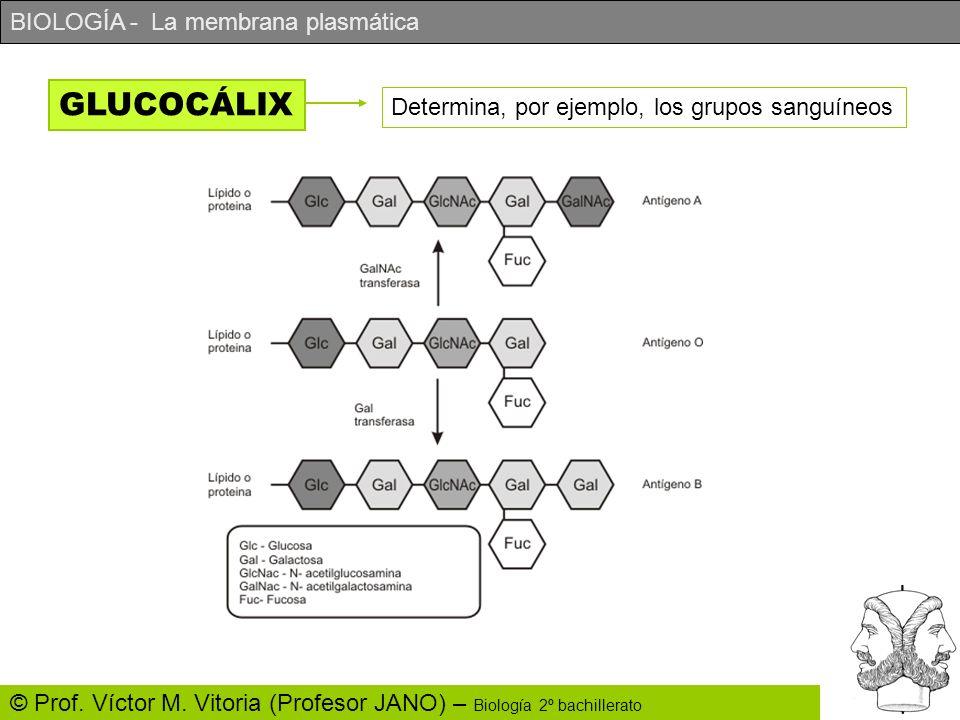 BIOLOGÍA - La membrana plasmática © Prof. Víctor M. Vitoria (Profesor JANO) – Biología 2º bachillerato GLUCOCÁLIX Determina, por ejemplo, los grupos s