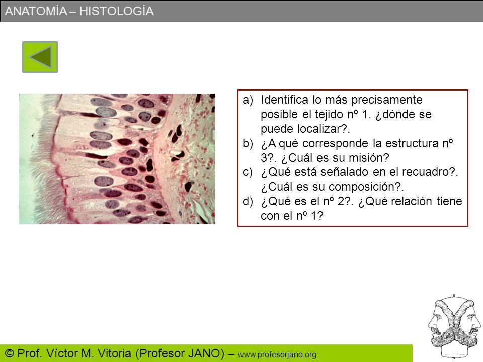 ANATOMÍA – HISTOLOGÍA © Prof. Víctor M. Vitoria (Profesor JANO) – www.profesorjano.org 3 (1) (2) (3)