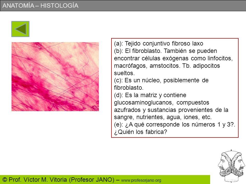 ANATOMÍA – HISTOLOGÍA © Prof. Víctor M. Vitoria (Profesor JANO) – www.profesorjano.org (a): Identifica lo más precisamente posible este tejido. (b): ¿