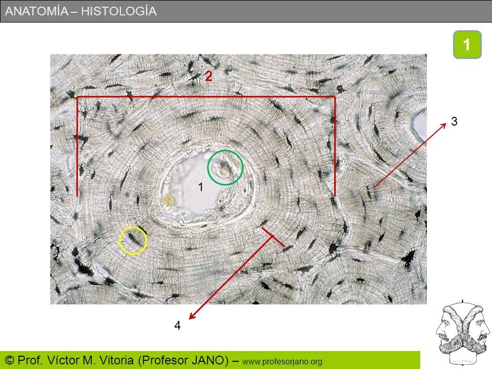 ANATOMÍA – HISTOLOGÍA © Prof. Víctor M. Vitoria (Profesor JANO) – www.profesorjano.org Observa la lámina con atención. Luego pasa a la siguiente que c